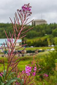 Fireweed blossoms on the Fairbanks campus in mid-August.  Filename: CAM-15-4609-28.jpg