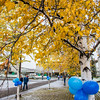"The fall's first snowfall sticks to the leaves on a birch tree in front of the Gruening Building on the Fairbanks campus.  <div class=""ss-paypal-button"">Filename: CAM-13-3944-37.jpg</div><div class=""ss-paypal-button-end"" style=""""></div>"