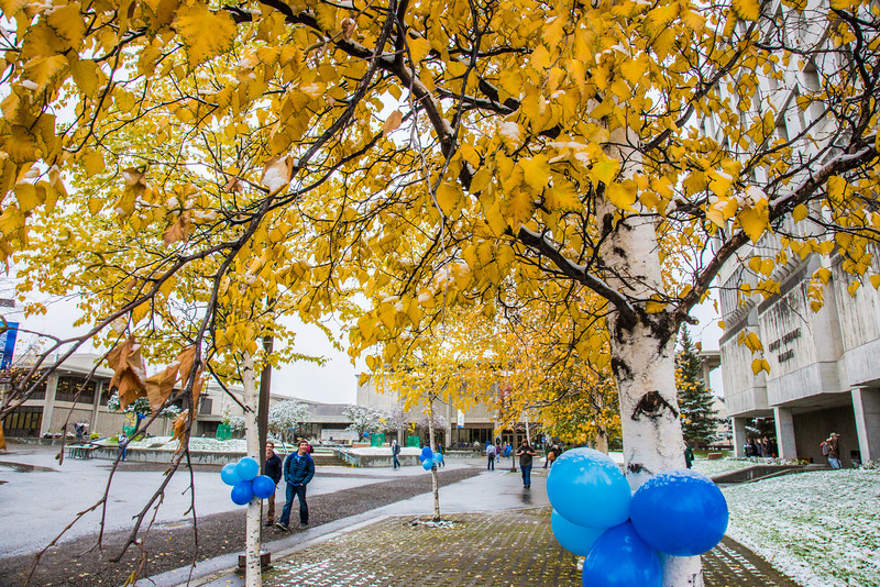"""The fall's first snowfall sticks to the leaves on a birch tree in front of the Gruening Building on the Fairbanks campus.  <div class=""""ss-paypal-button"""">Filename: CAM-13-3944-37.jpg</div><div class=""""ss-paypal-button-end"""" style=""""""""></div>"""