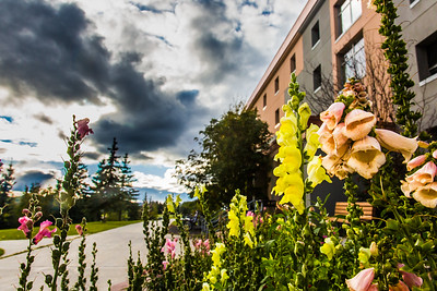 Late-season flowers bloom in front of Lathrop Hall during Orientation Week on the Fairbanks campus at the start of the fall 2015 semester.  Filename: CAM-15-4638-092.jpg