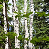 "Birch trees are among the many trees that line the Les Viereck Nature Trail.  <div class=""ss-paypal-button"">Filename: CAM-12-3435-70.jpg</div><div class=""ss-paypal-button-end"" style=""""></div>"