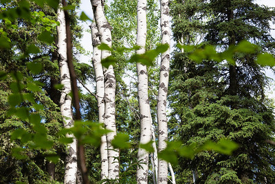 Birch trees are among the many trees that line the Les Viereck Nature Trail.  Filename: CAM-12-3435-70.jpg