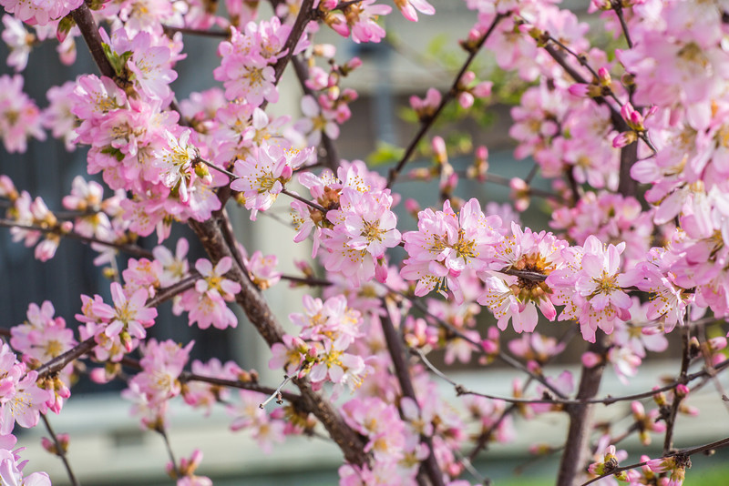 """Blossoms from a crabapple tree grace the Fairbanks campus on a mid-May afternoon.  <div class=""""ss-paypal-button"""">Filename: CAM-14-4193-3.jpg</div><div class=""""ss-paypal-button-end"""" style=""""""""></div>"""