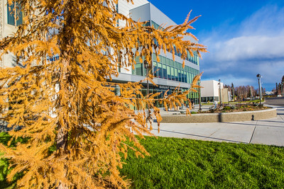 A tamarack tree displays its fall color in front of the Murie Building on UAF's west ridge.  Filename: CAM-13-3972-60.jpg