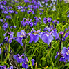"""Iris blossoms decorate the entrance of the Eielson Building at the Fairbanks campus in summer.  <div class=""""ss-paypal-button"""">Filename: CAM-18-5826-149.jpg</div><div class=""""ss-paypal-button-end""""></div>"""