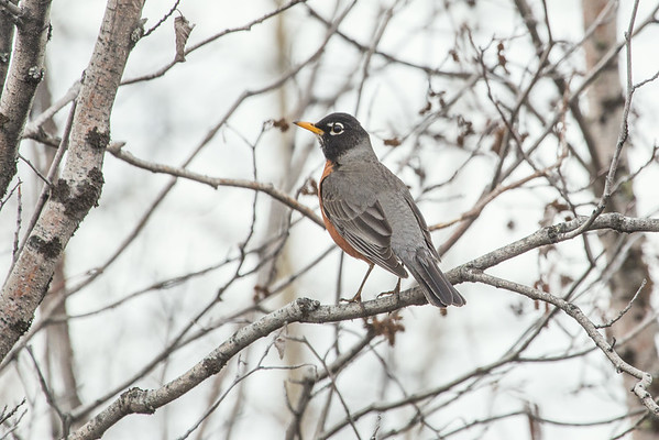 "The emergence of robins around campus is a sure sign of spring.  <div class=""ss-paypal-button"">Filename: CAM-14-4174-243.jpg</div><div class=""ss-paypal-button-end""></div>"