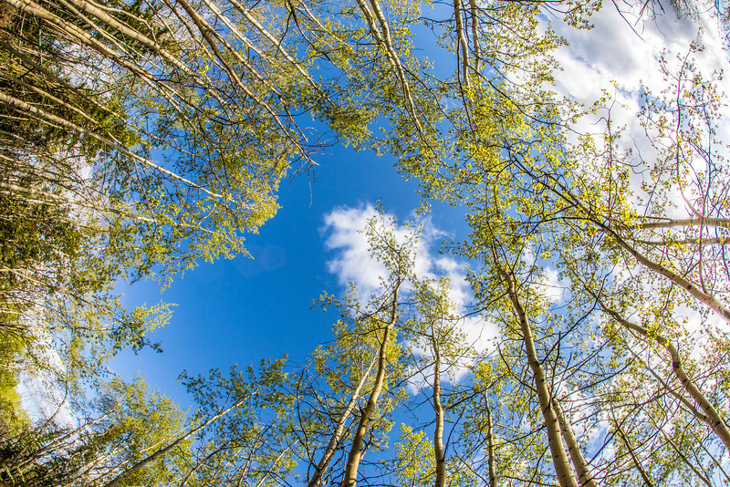 """New aspen leaves contrast against a blue sky on a sunny evening in May in the woods near the Hurlbert Terrain Park on the Fairbanks campus.  <div class=""""ss-paypal-button"""">Filename: CAM-14-4185-15.jpg</div><div class=""""ss-paypal-button-end"""" style=""""""""></div>"""