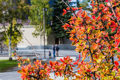 Brightly colored fall foliage greets families and visitors to the Fairbanks campus at the start of the fall 2015 semester.  Filename: CAM-15-4638-051.jpg