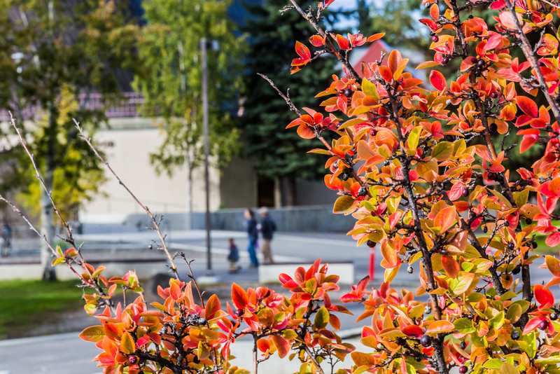 "Brightly colored fall foliage greets families and visitors to the Fairbanks campus at the start of the fall 2015 semester.  <div class=""ss-paypal-button"">Filename: CAM-15-4638-051.jpg</div><div class=""ss-paypal-button-end""></div>"
