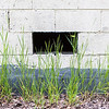 "Grass grows near a building on the Fairbanks campus.  <div class=""ss-paypal-button"">Filename: CAM-16-4917-60.jpg</div><div class=""ss-paypal-button-end""></div>"