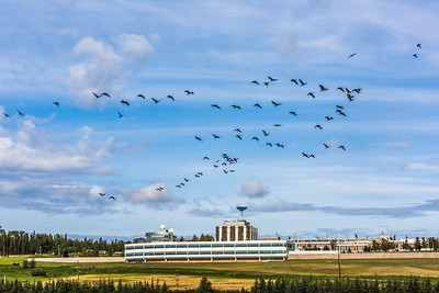 Migrating sandhill cranes congregate in the agricultural fields on the Fairbanks campus before starting their long annual trip to their winter homes in the Lower 48 and Mexico.  Filename: CAM-15-4620-132.jpg