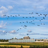 "Migrating sandhill cranes congregate in the agricultural fields on the Fairbanks campus before starting their long annual trip to their winter homes in the Lower 48 and Mexico.  <div class=""ss-paypal-button"">Filename: CAM-15-4620-132.jpg</div><div class=""ss-paypal-button-end""></div>"