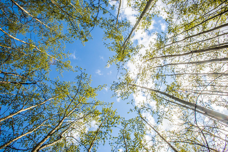 """New aspen leaves contrast against a blue sky on a sunny evening in May in the woods near the Hurlbert Terrain Park on the Fairbanks campus.  <div class=""""ss-paypal-button"""">Filename: CAM-14-4185-26.jpg</div><div class=""""ss-paypal-button-end"""" style=""""""""></div>"""