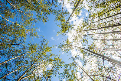 New aspen leaves contrast against a blue sky on a sunny evening in May in the woods near the Hurlbert Terrain Park on the Fairbanks campus.  Filename: CAM-14-4185-26.jpg