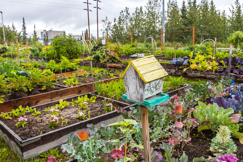 """UAF's Office of Sustainability maintains a community garden for campus residents and anyone else interested in producing local vegetables.  <div class=""""ss-paypal-button"""">Filename: CAM-15-4609-09.jpg</div><div class=""""ss-paypal-button-end""""></div>"""