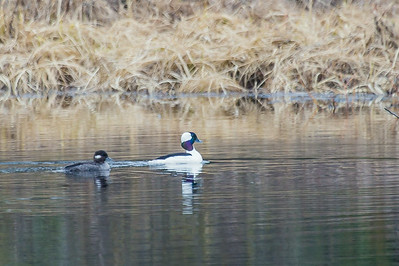 A pair of ducks cruise around a pond off Sheep Creek Road on the Fairbanks campus.  Filename: CAM-14-4174-217.jpg