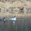 "A pair of ducks cruise around a pond off Sheep Creek Road on the Fairbanks campus.  <div class=""ss-paypal-button"">Filename: CAM-14-4174-217.jpg</div><div class=""ss-paypal-button-end""></div>"