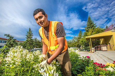 Armando Arauz culls flowers from the bed in front of Wood Center on his morning duties with the Facilities Services summer grounds crew.  Filename: CAM-12-3481-7.jpg