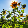 "A sunflower stands tall at the Georgeson Botanical Garden.  <div class=""ss-paypal-button"">Filename: CAM-16-4950-16.jpg</div><div class=""ss-paypal-button-end""></div>"