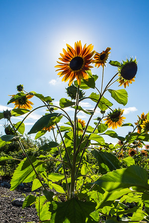 A sunflower stands tall at the Georgeson Botanical Garden.  Filename: CAM-16-4950-16.jpg