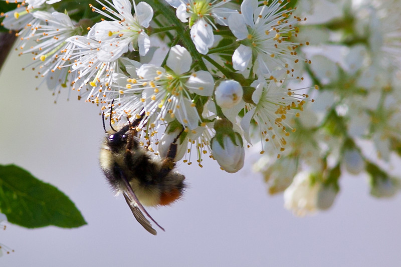 """Bees gather necter from crabapple blossoms on the Fairbanks campus in early summer.  <div class=""""ss-paypal-button"""">Filename: CAM-10-2799-33.jpg</div><div class=""""ss-paypal-button-end"""" style=""""""""></div>"""