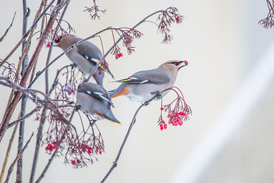 Bohemian waxwings feed on berries outside the Eielson Building on a November afternoon.  Filename: CAM-13-4006-15.jpg