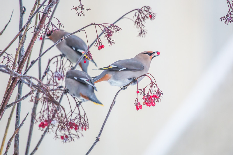 """Bohemian waxwings feed on berries outside the Eielson Building on a November afternoon.  <div class=""""ss-paypal-button"""">Filename: CAM-13-4006-15.jpg</div><div class=""""ss-paypal-button-end"""" style=""""""""></div>"""