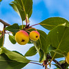 """Miniature apples ripen on a tree near the lower residence halls during Orientation Week on the Fairbanks campus at the start of the fall 2015 semester.  <div class=""""ss-paypal-button"""">Filename: CAM-15-4638-088.jpg</div><div class=""""ss-paypal-button-end""""></div>"""