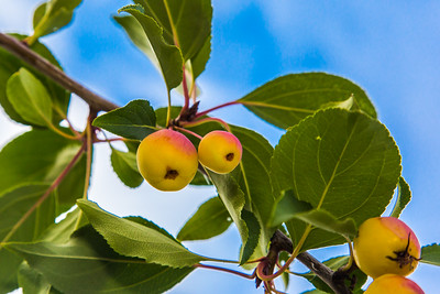 Miniature apples ripen on a tree near the lower residence halls during Orientation Week on the Fairbanks campus at the start of the fall 2015 semester.  Filename: CAM-15-4638-088.jpg