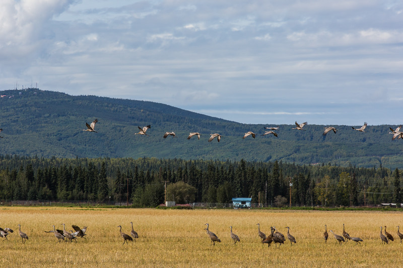 """Migrating sandhill cranes congregate in the agricultural fields on the UAF Fairbanks campus in August 2015.  <div class=""""ss-paypal-button"""">Filename: CAM-15-4620-100.jpg</div><div class=""""ss-paypal-button-end""""></div>"""