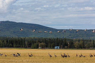 Migrating sandhill cranes congregate in the agricultural fields on the UAF Fairbanks campus in August 2015.  Filename: CAM-15-4620-100.jpg