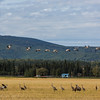 "Migrating sandhill cranes congregate in the agricultural fields on the UAF Fairbanks campus in August 2015.  <div class=""ss-paypal-button"">Filename: CAM-15-4620-100.jpg</div><div class=""ss-paypal-button-end""></div>"