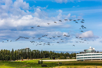 Migrating sandhill cranes congregate in the agricultural fields on the Fairbanks campus before starting their long annual trip to their winter homes in the Lower 48 and Mexico.  Filename: CAM-15-4620-128.jpg