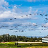 "Migrating sandhill cranes congregate in the agricultural fields on the Fairbanks campus before starting their long annual trip to their winter homes in the Lower 48 and Mexico.  <div class=""ss-paypal-button"">Filename: CAM-15-4620-128.jpg</div><div class=""ss-paypal-button-end""></div>"