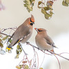 "A pair of Bohemian waxwings seems to contemplate sharing an afternoon snack on a cold January day on the Fairbanks campus.  <div class=""ss-paypal-button"">Filename: CAM-15-4439-105.jpg</div><div class=""ss-paypal-button-end""></div>"