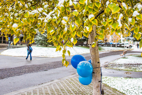 """The fall's first snowfall sticks to the leaves on a birch tree near Constitution Park on the Fairbanks campus.  <div class=""""ss-paypal-button"""">Filename: CAM-13-3944-10.jpg</div><div class=""""ss-paypal-button-end"""" style=""""""""></div>"""