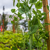 "UAF's Office of Sustainability maintains a community garden for campus residents and anyone else interested in producing local vegetables.  <div class=""ss-paypal-button"">Filename: CAM-15-4609-21.jpg</div><div class=""ss-paypal-button-end""></div>"