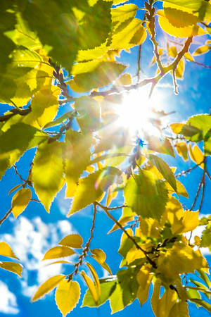 The sun shines through colorful leaves on a September day on the Fairbanks campus.  Filename: CAM-13-3938-27.jpg