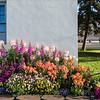 "Flowers bloom around campus  <div class=""ss-paypal-button"">Filename: CAM-16-4950-27.jpg</div><div class=""ss-paypal-button-end""></div>"