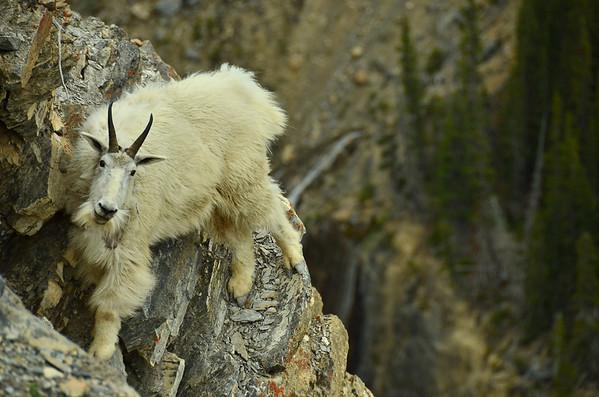 Mountain Goat, Sunwapta Pass, Canada