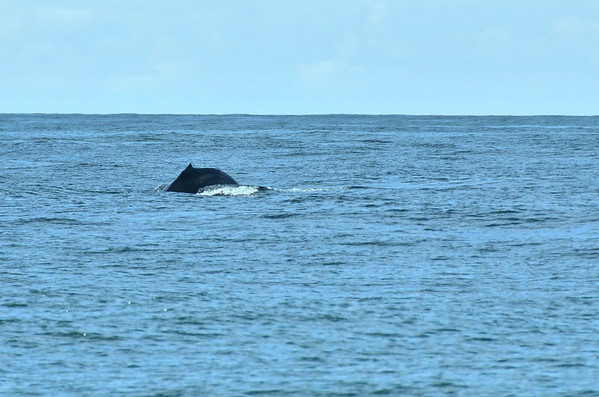 Humpback Whale, Clayoquot Sound, Vancovuer Island;