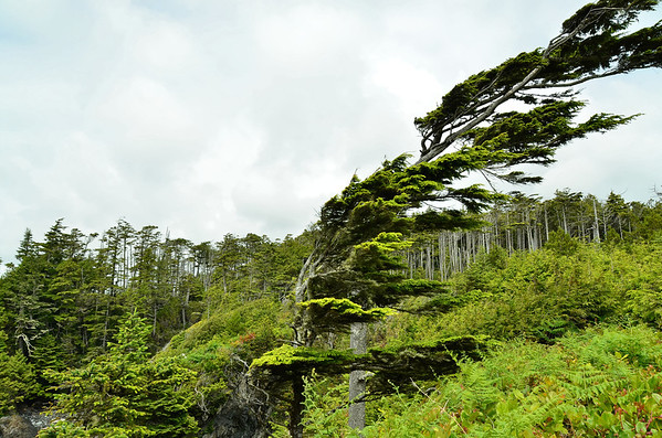 Storm beaten trees, Wild Pacific Rim trail at Ucuelet, Vancouver Island