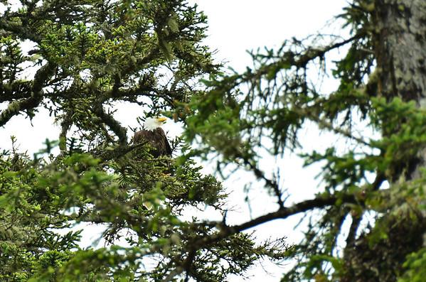 Bald Eagle, Wild Pacific Rim Trail, Vancouver Island;;