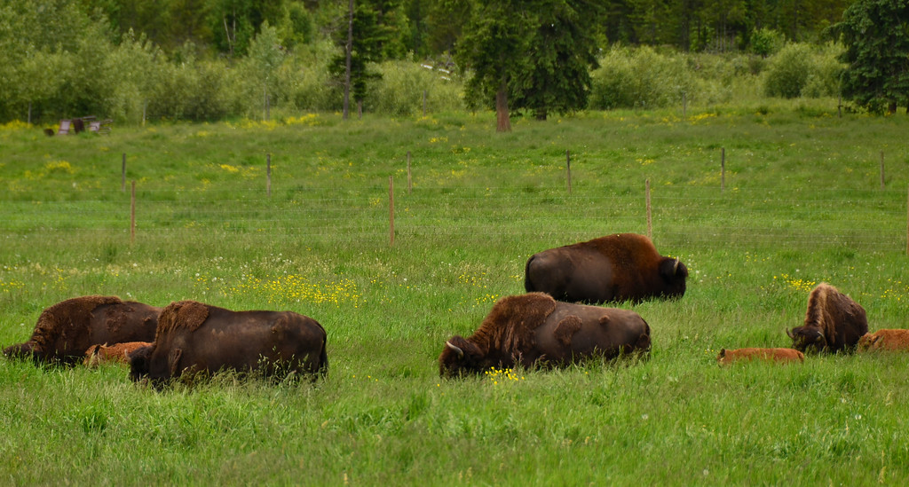 Bisons, Wells Grey NP, Canada