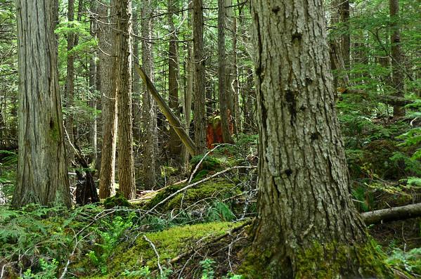 Rainforest, Wells Gray NP, British Columbia, Canada