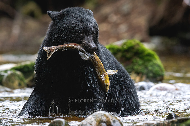 One less salmon for the ocean, one more salmon for the rain forest