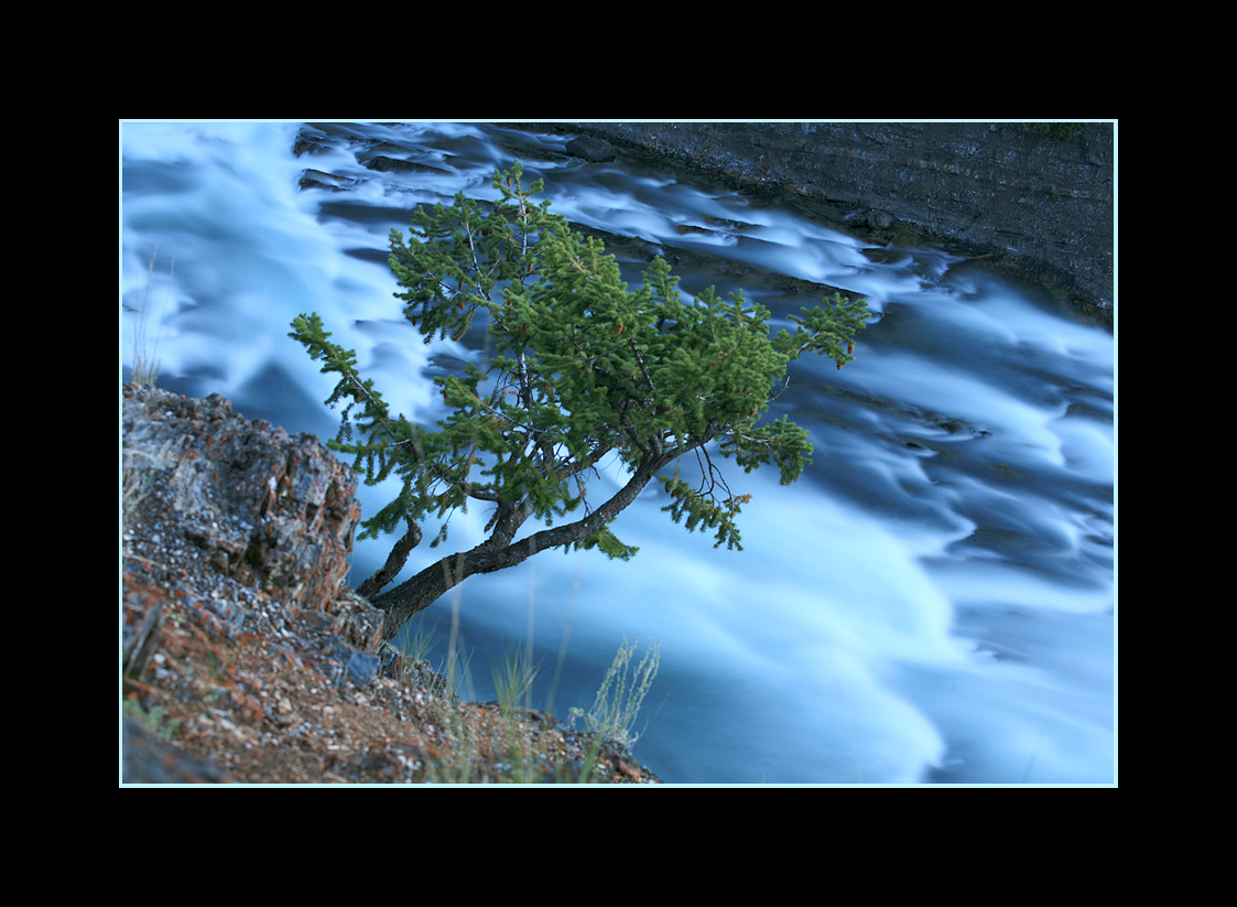 Tree over the Bow River, Banff National Park