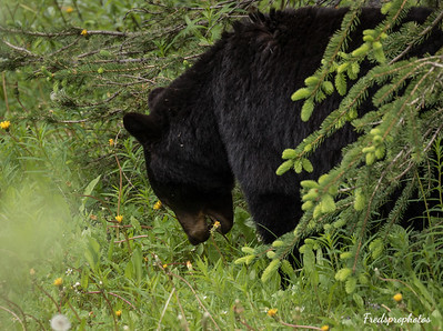 Bear at Maligne Lake Road-3