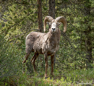 Big Horn Sheep-2-Edit-Edit