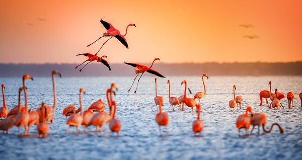 Pink flamingoes landing during a sunset